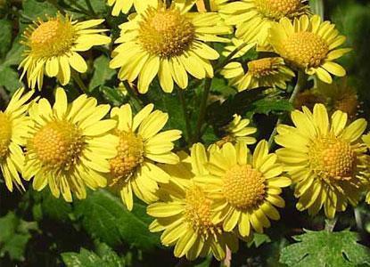 chrysantellum americanum.